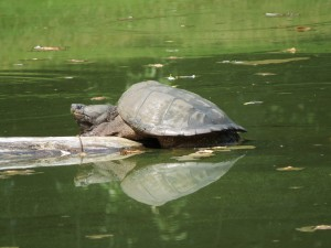 Snapping Turtle on the Log
