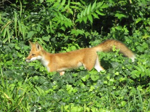 Red fox at Animals in Harmony